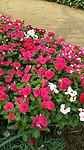 学校常用花卉,学校常用的花卉种类,茗茜花卉基地供应