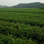 广西杉树苗价格多少钱一棵-速生杉树苗种植方法
