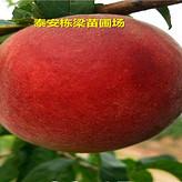 雪桃桃树种苗基地嫁接油蟠5桃苗真实栽种方法