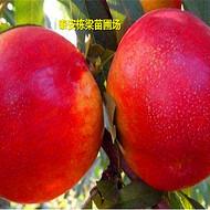 映霜红桃树种苗批发嫁接春丽桃苗真实品种特点
