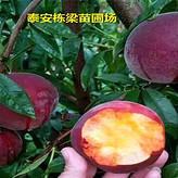 锦绣黄桃苗基地中熟桃树苗真实栽种方法