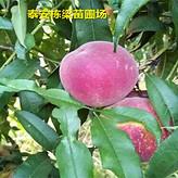 沂蒙霜红桃树种苗供应商早熟鲁红618桃树苗真实批发价格