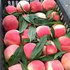 血桃树苗、血桃树树苗新品种、血桃树树苗价格