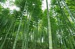 耐寒易活北方绿化竹子行业领先规模宏大