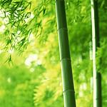 适合山西的绿化竹子北方耐寒竹子的种类及品种毛竹