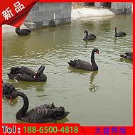 北京成年黑天鹅特价批发 基地直销****