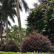 台湾(假槟榔)树苗