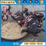 斗鸡的常见品种有哪些 怎样区分好坏