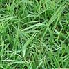 高羊茅草坪种子价格