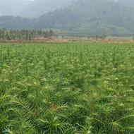 广东杉木苗哪里批发-杉木苗造林种植技术图片