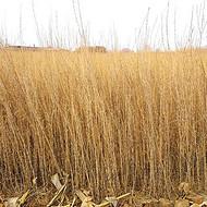 甘肃梭梭苗基地供应1年生30-60公分梭梭树苗