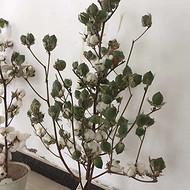 新疆高产棉花种子|棉花种子供应商|机采棉