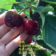 3公分车厘子樱桃树苗 3公分车厘子樱桃树苗新品种