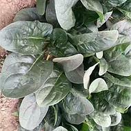 菠菜种子价格