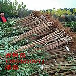 珍珠油杏树苗;珍珠油杏树苗新品种;珍珠油杏树苗价格