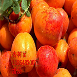丰园红杏树苗|杏树苗价格|杏树苗多少钱一棵