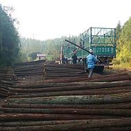 大量批发杉木杆 2米3米4米绿化支撑杆