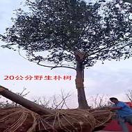 安徽20-30公分朴树 黄连木 榔榆 乌桕 大叶女贞 丛生朴树 丛生乌桕 野货
