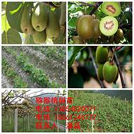 山东哪里卖红心猕猴桃树苗、红心猕猴桃树树苗价格多少