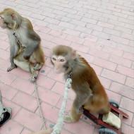 新野县枣园猕猴养殖场提供:训养繁殖猕猴,猴艺表演,展览放养