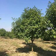 10公分红叶石楠价格 8公分和12公分报价 高低分支