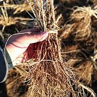 刺嫩芽苗,辽宁刺嫩芽树苗,刺嫩芽种苗基地