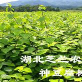 神仙豆腐树苗基地供应观音豆腐树苗 豆腐柴树 神豆腐树苗价格优惠 一手货源