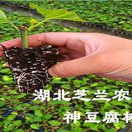 神豆腐树苗/神仙豆腐树苗/ 臭黄荆种苗 /观音树基地