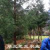 供应湖北利川柳杉树苗地径1-10公分柳杉树