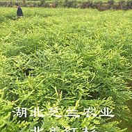 湖北利川扦插北美红杉树苗杯苗30公分美国红杉价格批发