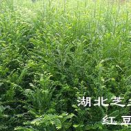 湖北恩施利川南方红豆杉苗批发红豆杉树苗价格优惠一米红豆杉