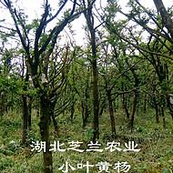 供应移栽成活湖北恩施黄杨树高山小叶黄杨瓜子黄杨黄杨树批发价格种植技术