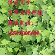 供应艾草种植、艾根育苗、艾苗培育的规模种植 量大优惠
