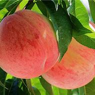 水蜜桃苗、水蜜桃树苗、优质水蜜桃树苗新品种