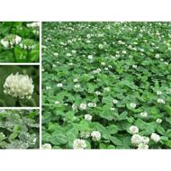 发布白三叶种子价格信息