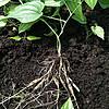 广西对叶百部种苗种植推广