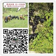 江西山羊-黑山羊-波尔山羊-湖羊-价格信息行情