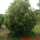 2米中华土石楠价格 3米土石楠 4米土石楠价格