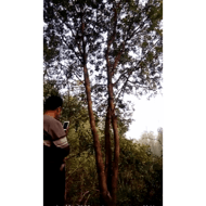 18-30公分野生丛生黄连木供应 20公分黄连木价格1700元