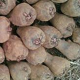 基地直销精品魔芋一代种