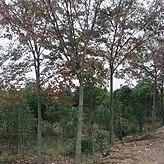 2018优质红榉树10公分价格 12公分和15公分红榉树报价
