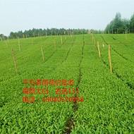 四川良种扦插茶叶苗批发基地