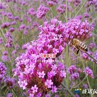 马鞭草花海设计、育苗供苗、施工,山东优质马鞭草基地批发量大、质优价廉