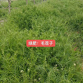 澳门鼠茅草种子果园绿肥好帮手
