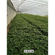日本红瑶红薯苗