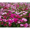 西藏波斯菊种子多少钱一斤