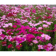 河南波斯菊种子混色25一斤