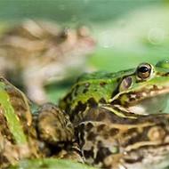 青蛙养殖投资费用分析