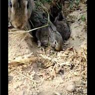长期出售杂交野兔,杂家野兔市场行情