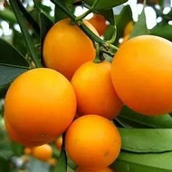 脆蜜金柑的亩产量多少斤-广西脆蜜金柑苗哪里有卖南宁脆蜜金柑苗价格多少钱一棵